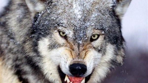 ذئب يقتل ربة منزل في زراعات القصب بسوهاج