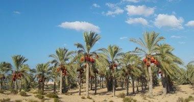 الزراعة: اليوم مصر تستضيف مهرجان الشيخ خليفة الدولى للتمور فى سيوة