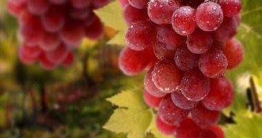 الصادرات: العنب يتصدر أهم 20 سلعة غذائية من صادرات مصر غير البترولية