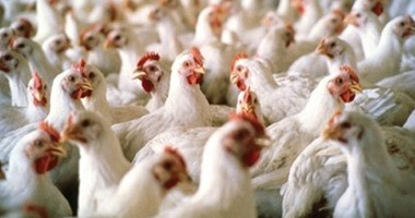 """""""منتجى الدواجن"""": مصر تنتج 11.5 مليار بيضة سنويًا"""