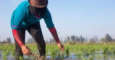 لجنة لحصر زراعات الأرز المخالفة لقرار وزير الرى ببورسعيد