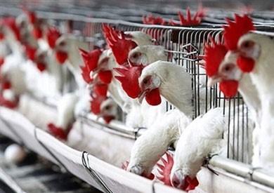 أزمة الأسعار تدفع «الزراعة» إلى حظر استيراد جميع المنتجات الداجنة من الخارج