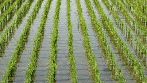 فيديو.. «الزراعة»: استنباط أصناف جديدة من الأرز تستهلك كميات أقل من المياه