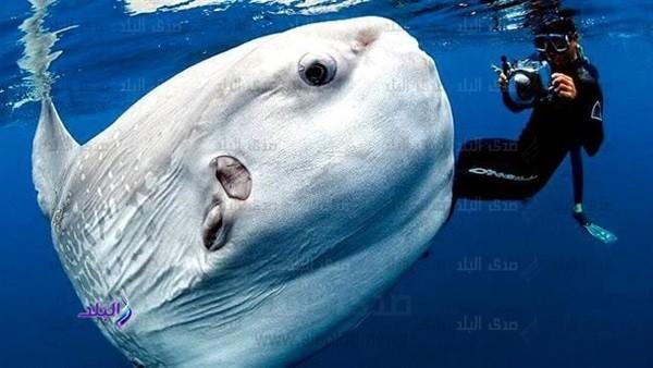 تعرف على سمكة الشمس النادرة بعد نفوقها في بورسعيد.. لحمها السام وجبة شهية