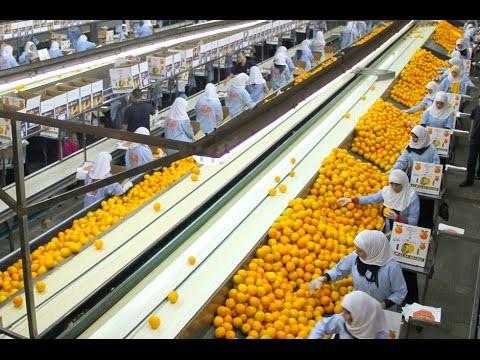 «الزراعة»: نحتل المركز الثاني على مستوى العالم في تصدير الموالح