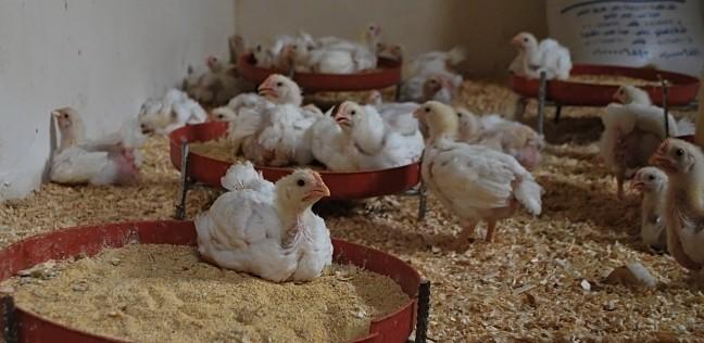 """""""الزراعة"""" تحظر استيراد الدواجن لدعم الإنتاج المحلي"""