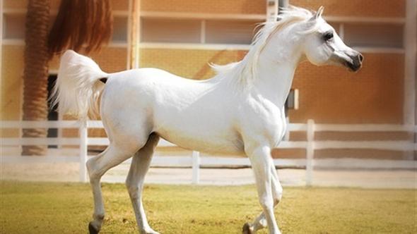انطلاق فعاليات اليوم الثاني لمسابقة جمال الخيول العربية