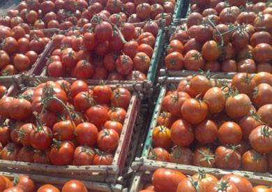 «الزراعة» تعلق على ظاهرة «الطماطم السامة» بالأسواق