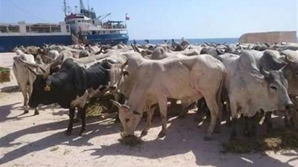 وصول 1596 راسا من العجول الحية السودانية الى ميناء ابوطرطور