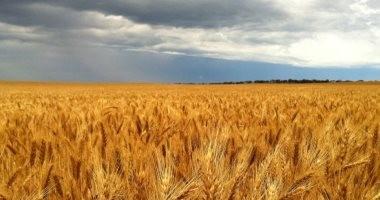 أسواق فاينانشيال: أمريكا قلصت المخزون العالمى للقمح بنحو 1.92 مليون طن