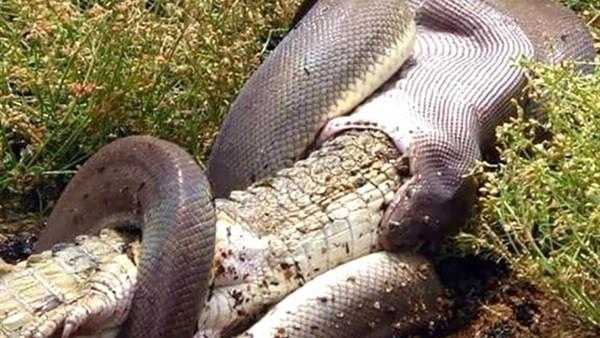 لحظة ابتلاع ثعبان لتمساح ضخم دفعة واحدة بعد اصطياده من النهر
