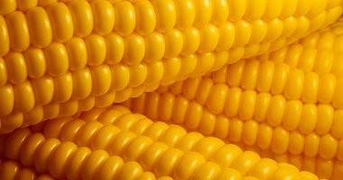 """اجتماعات مكثفة بـ""""الزراعة"""" لتسويق الذرة الصفراء من الفلاحين"""
